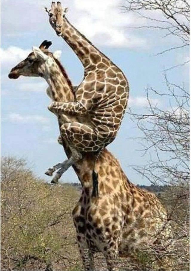 Drôle De Coupe Avec Girafes Sur Le Fond Blanc Banque D'Images Et Photos Libres